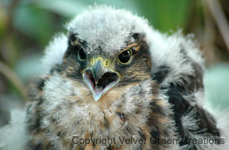Young Merlin Hawk